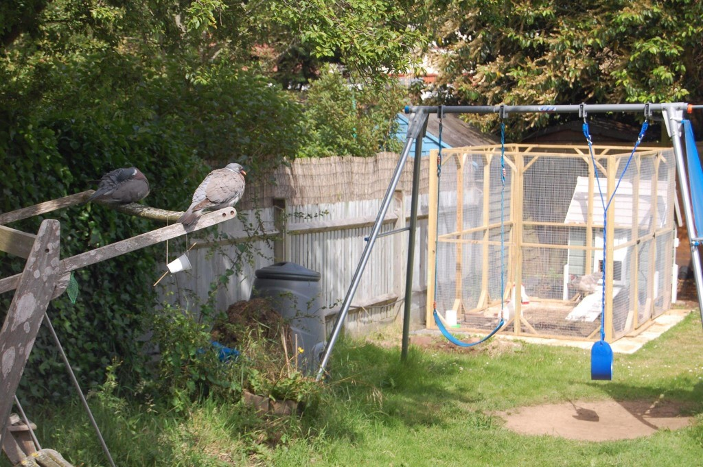 A couple of pigeons watch the chickens from a distance