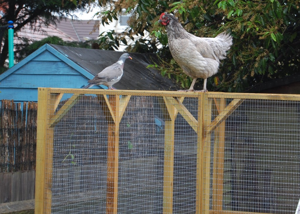Vi and a pigeon have a chat on top of the chicken pen