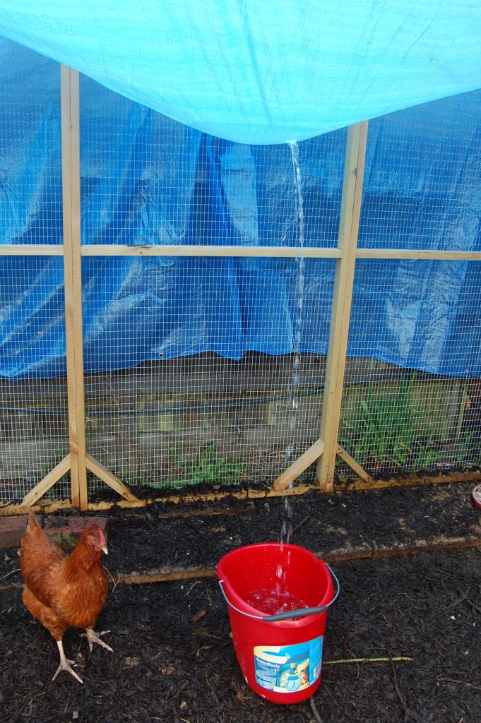 Queenie inspecting the bucket used to drain water from the tarpaulin roof