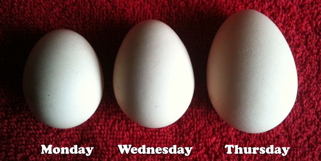 Vi's first three eggs, in ascending order of laying